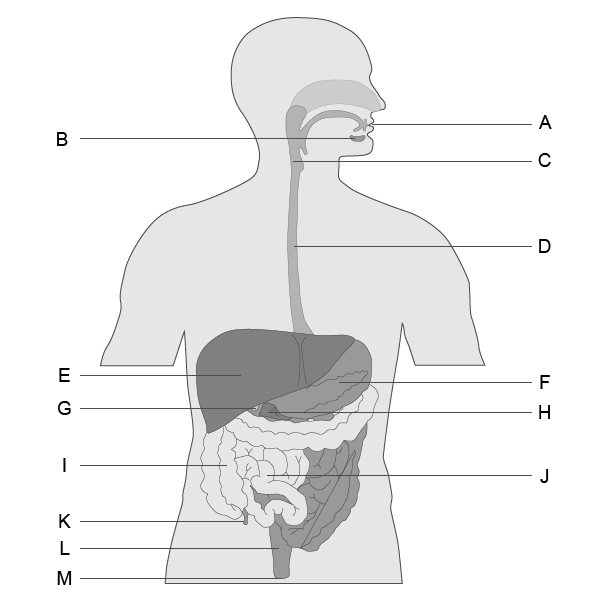 Digestive System lesson | Digestive system lessons, Body ...