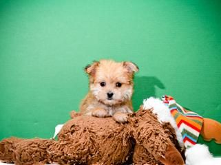Micro Teacup Justin Timberlake Is Our Morkie Puppy Morkie Puppies Morkie Puppies For Sale Mixed Breed Puppies