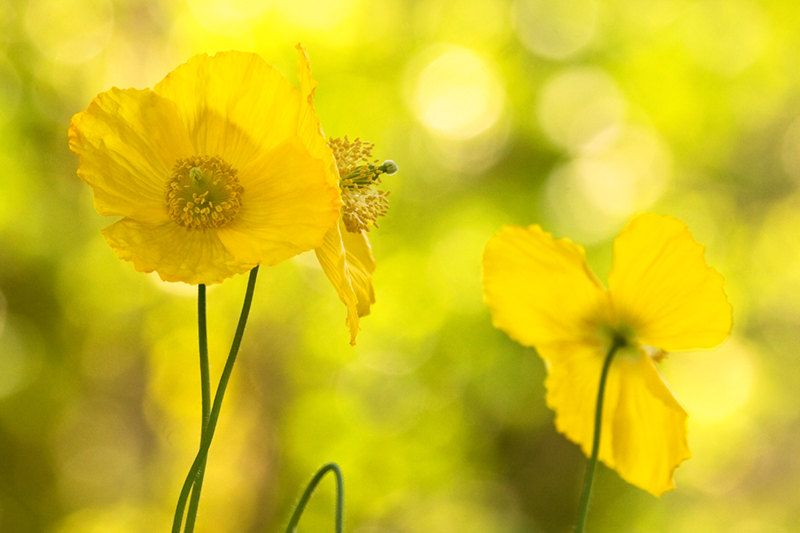 Yellow Poppies, Yellow Wall Art, Yellow Decor, Nature Photography ...