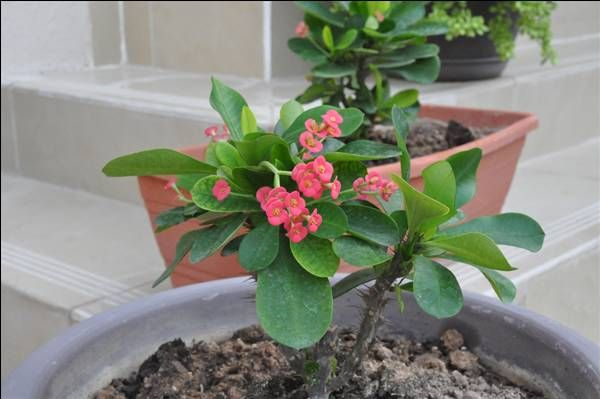 Spiny Stem Little Pink Flowers Plant Identification Garden