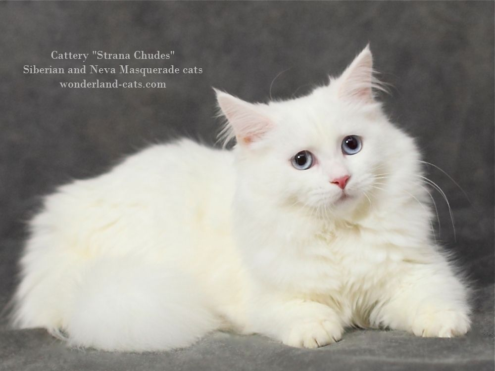 Russian Siberian Beautiful Cat White Color With Blue Eyes In The