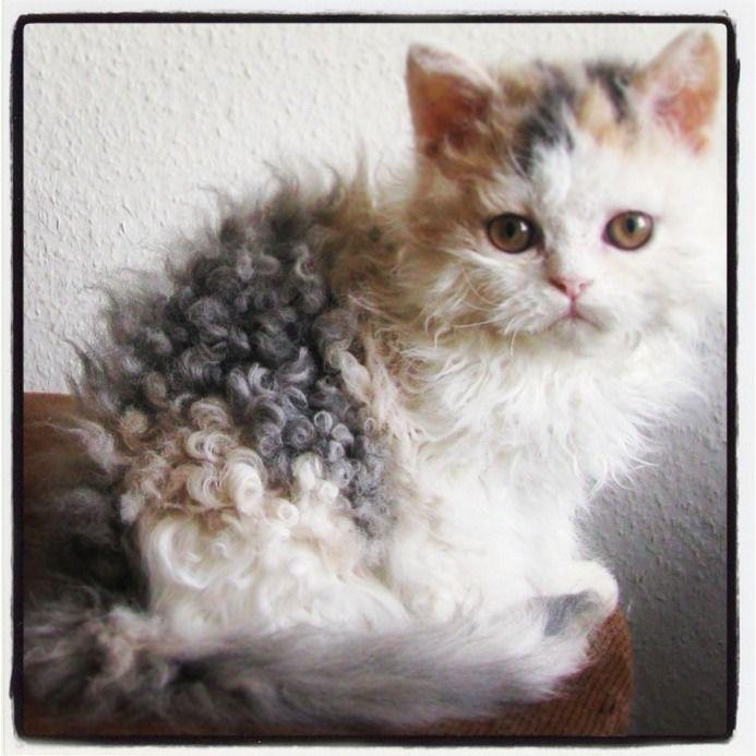 Cat Love Curly Hair Kitten Pets Pinterest Cats Kittens