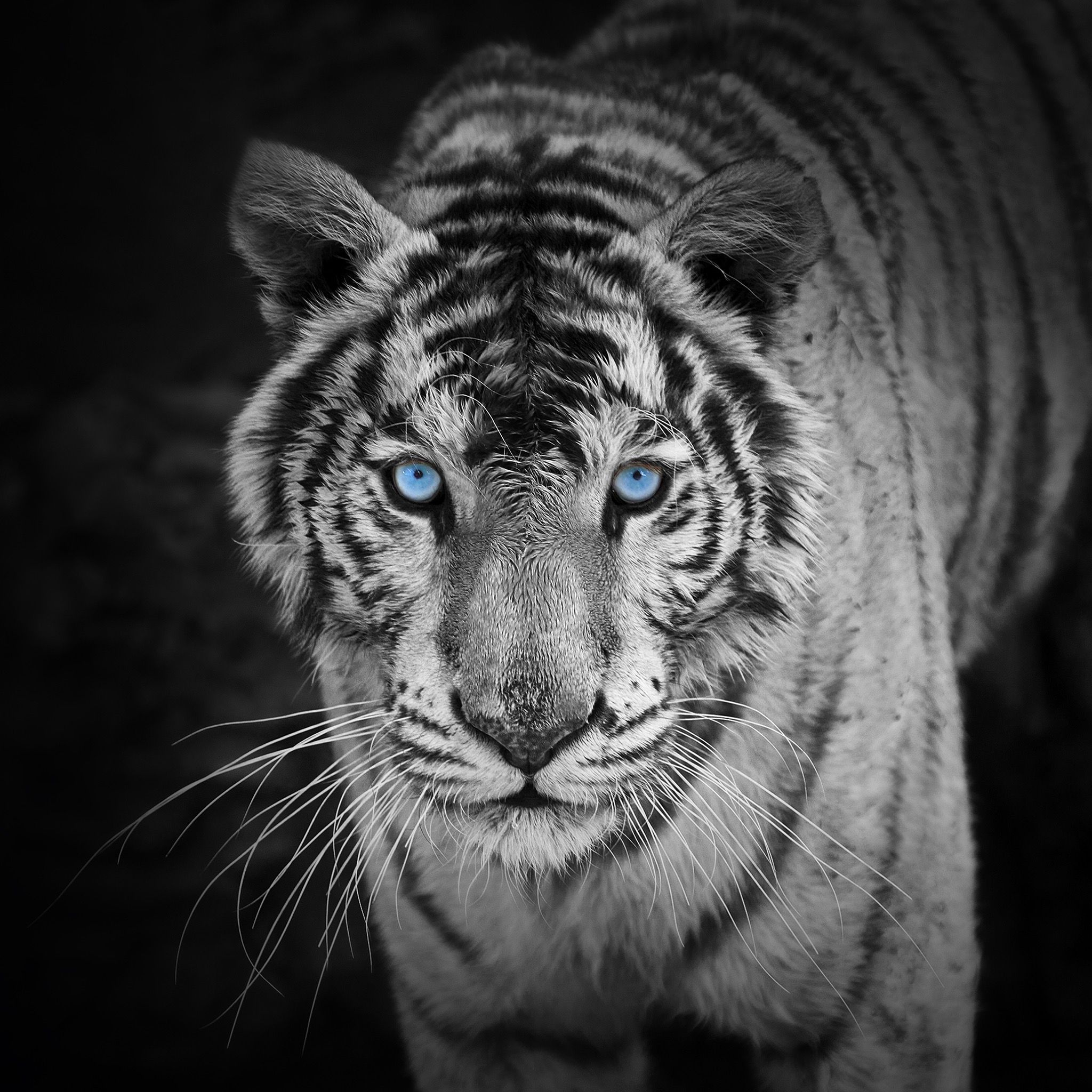 White Tiger With Images Pet Tiger Tiger Wallpaper Tiger Photography