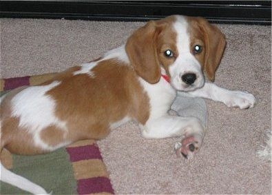Dream Dog Beagle King Cavalier Spaniel Mix Also Known As A