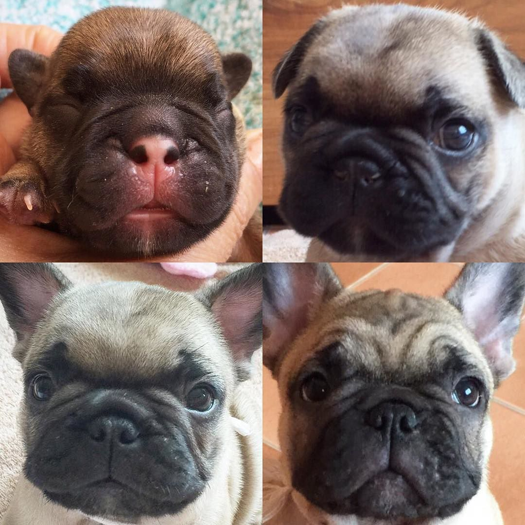 French Bulldog Puppy The First 6 Months They Grow Up So