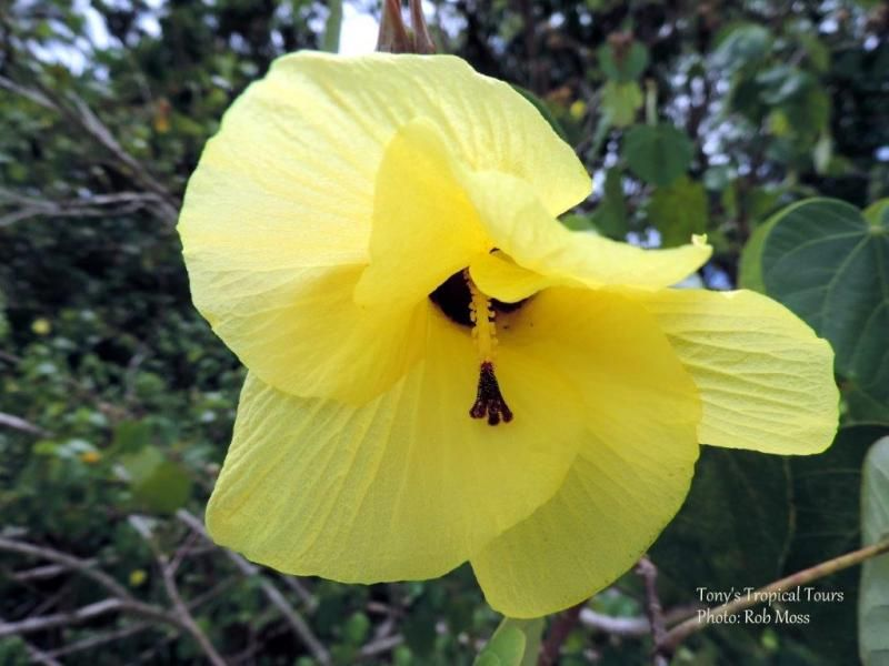 Beach Hibiscus Cottonwood Spreading Tree With Heart Shaped Leaves Large Yellow Flowers