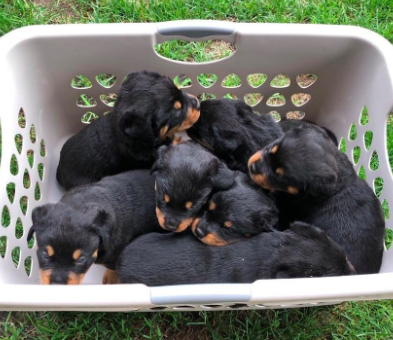 Good Breeder Porath S Rottweilers Rottweiler Rottweiler Puppies Best Dogs