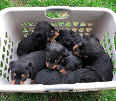 Good Breeder Porath S Rottweilers Rottweiler Rottweiler Puppies Best Dogs