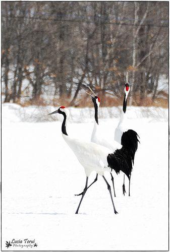 Japanese Crane (Grus japonensis) in Hokkaido, Japan