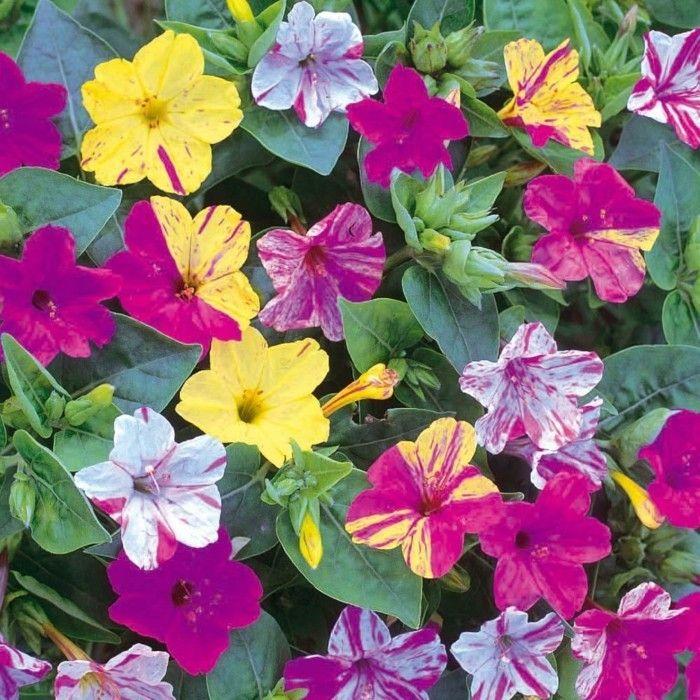 Blumenarten Mit Fabelhaften Farben   Blumen   Pinterest Jasmin In Blumentopf Zuchten Wichtige Tipps