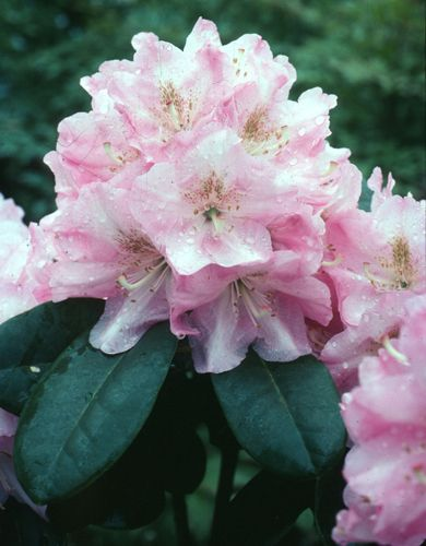 Rhododendron Janet Blair Full Sun Open Shade 6 Tall 5 Wide