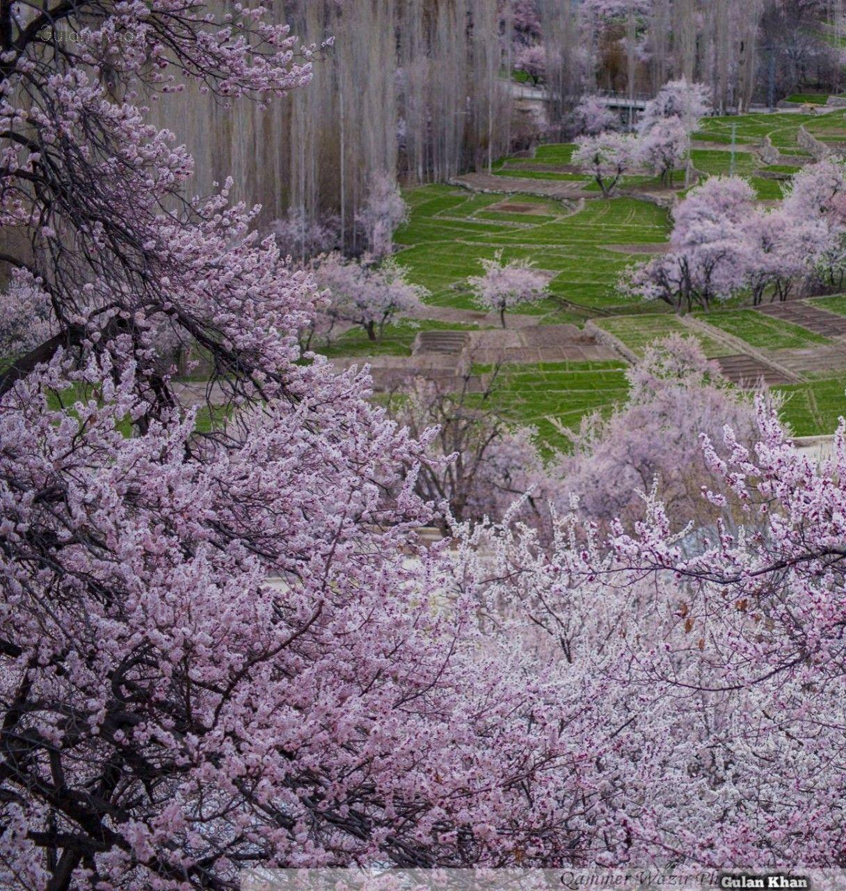 Pakistan Cherry Blossom At Skardu Valley Gilgit Baltistan Pakistan Beautiful Landscapes Pakistan Paradise On Earth