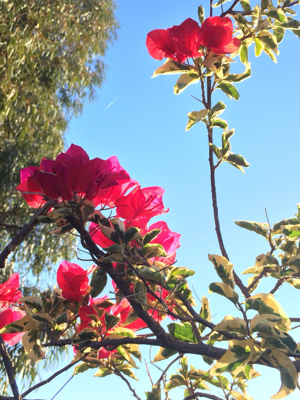 http://www.instagram.com/fannybdn/ #flowers #melbourne #garden #australie #trees #pink