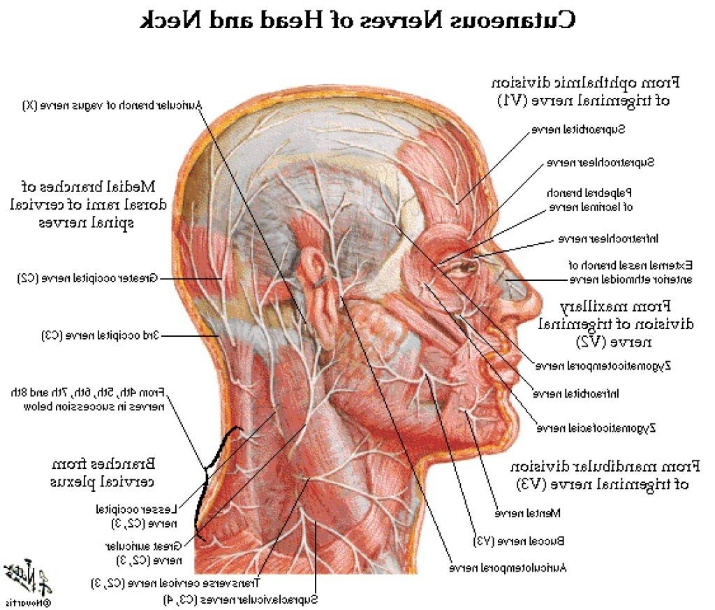 Human Head And Neck Muscles Diagram Wiring Diagram