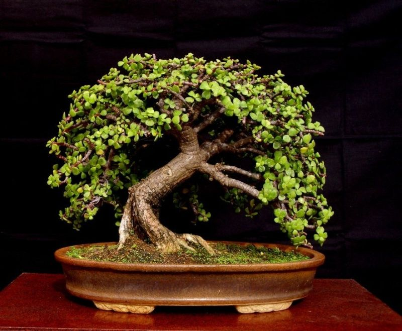 Jade Tree Bonsai Bonsai tree, Jade bonsai, Bonsai plants