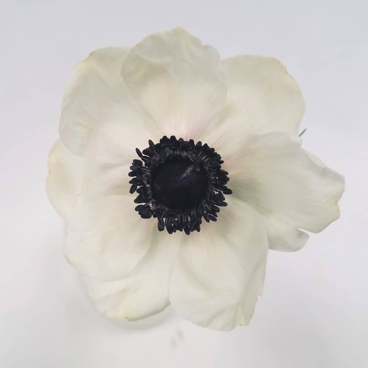 Anemone White Black Center Wholesale Flowers White Anemone Flowers
