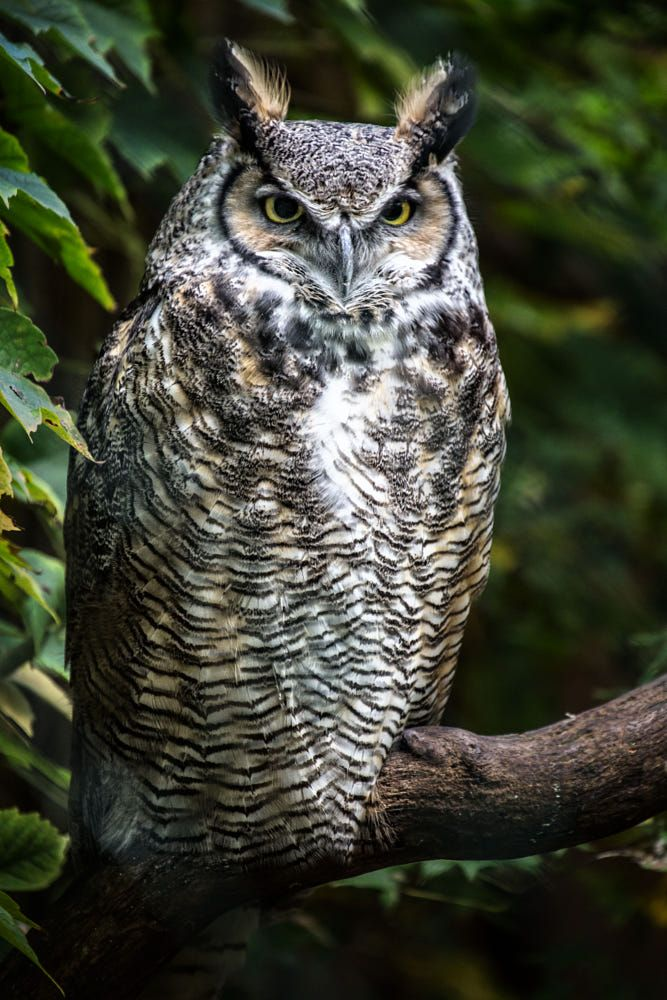 Great Horned Owl Bubo Virginianus By Jean Claude Sch On 500px