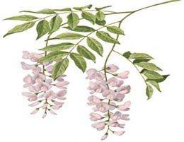 I fiori disegni glicine 2 fiori di perline for Glicine disegno