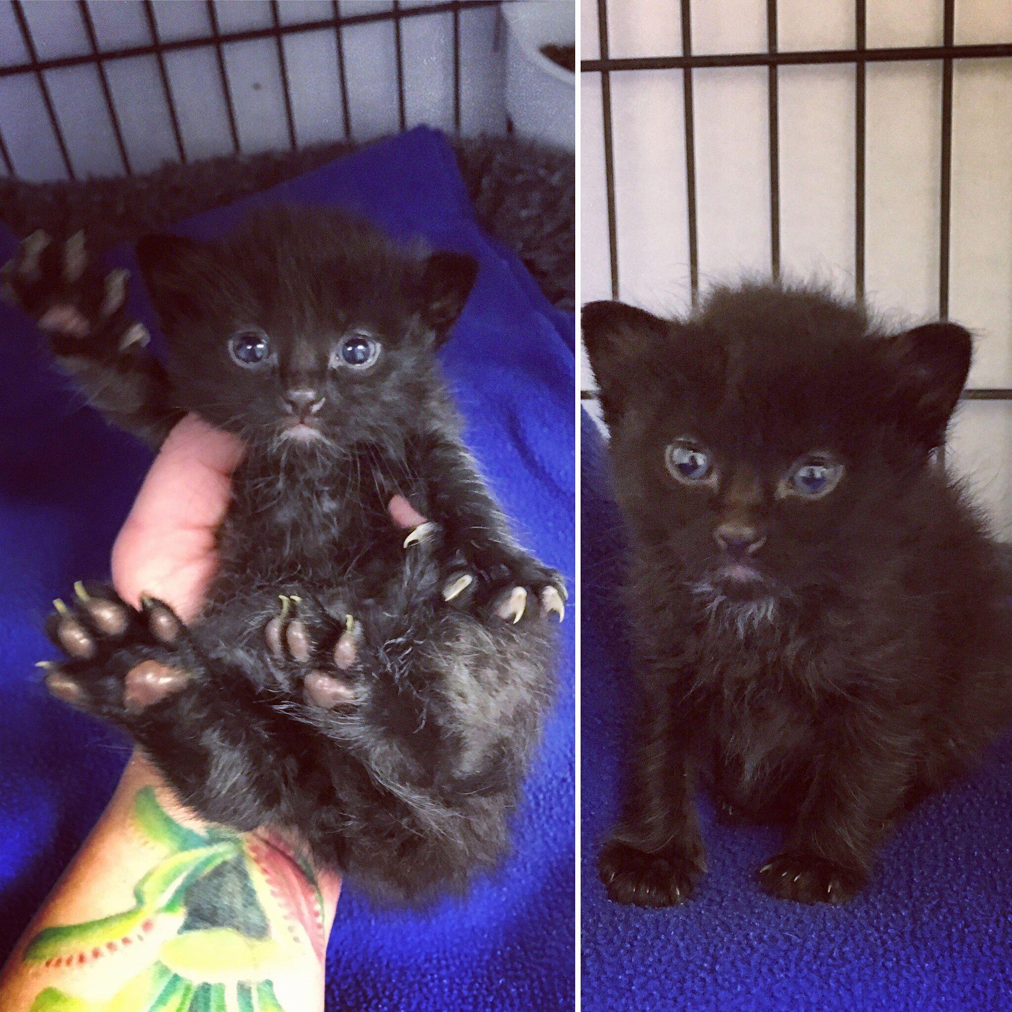 kitten possible baby black bear little foot as i ve