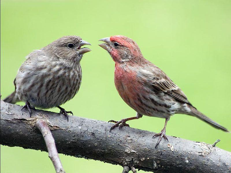 House Finch Pet Birds Beautiful Birds Backyard Birds