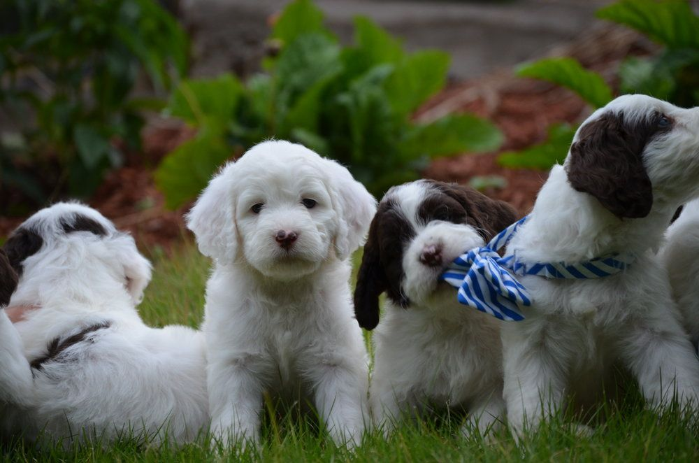 Mini Springerdoodle Puppies Springerdoodle Puppies For Sale Toy Dog Breeds