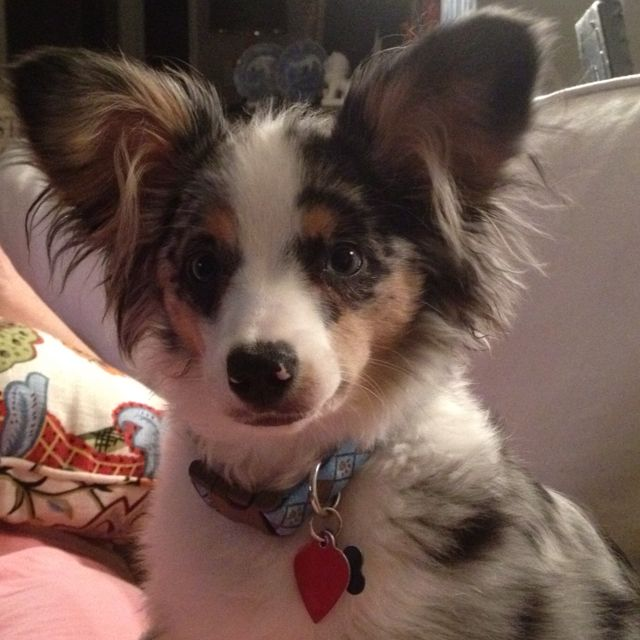 luka 39 s not the only mini aussie with prick ears dog type things pinterest mini aussie. Black Bedroom Furniture Sets. Home Design Ideas