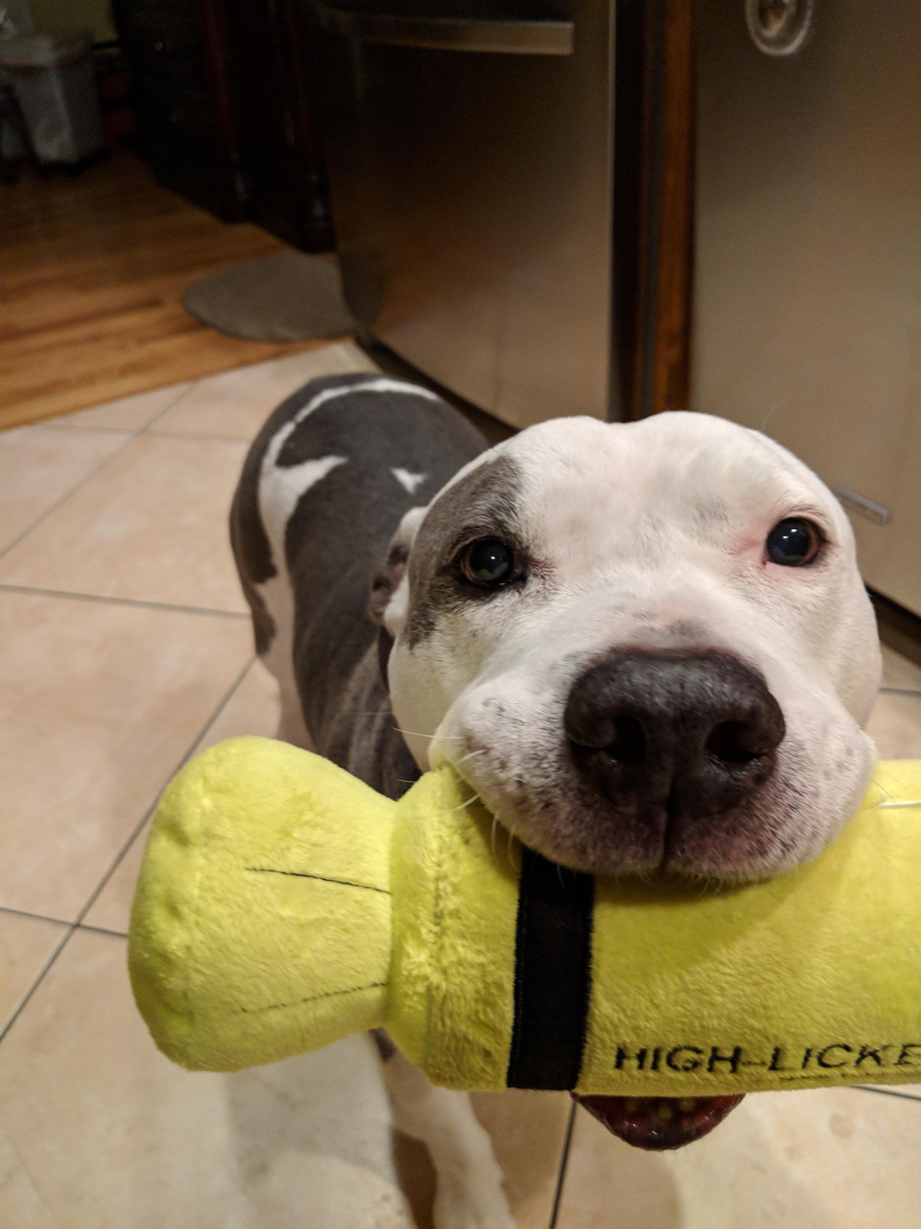 High Licker Pitbulls, Animals, Pit bulls