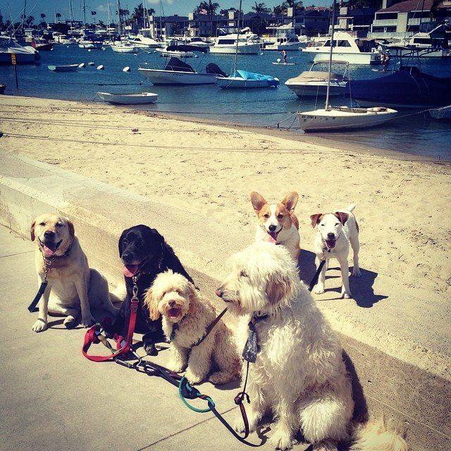 Dogs on a walk in Balboa Island Ruff life Dog