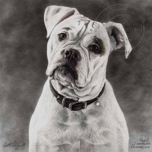 Pencil Drawings Of American Bulldogs American Bulldog Portrait