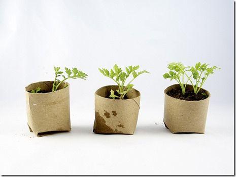 seedlings in repurposed toilet paper rolls