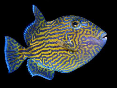 Ten Distinguished Triggerfish Marine Fish Ocean Creatures Salt Water Fish