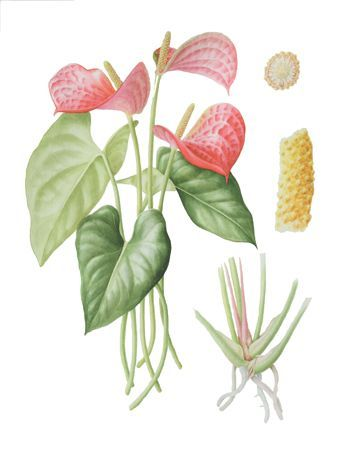 Antoryum Anthurium Scherzerianum Flaminggo Flower Tail Flower Botanical Art Botanical Painting Botanical Watercolor