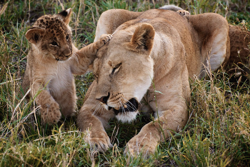 female lions are the predominant caregivers to... (With