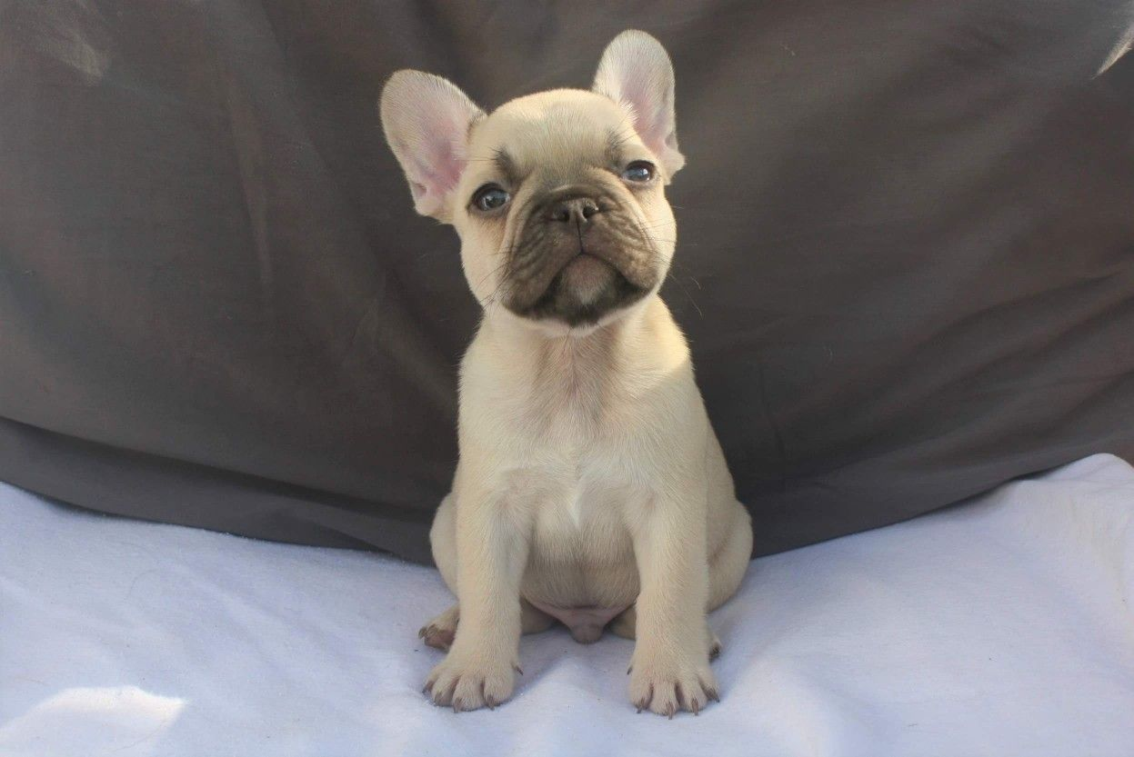 Pin By Frenchie Kiss On Frenchie Puppies Fawn French Bulldog Frenchie Puppy French Bulldog Puppies