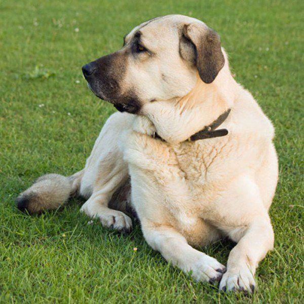 The 20 Best Cold Weather Dog Breeds Large Dog Breeds Giant Dog