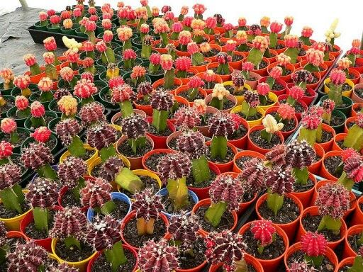 Fiesta de cactus