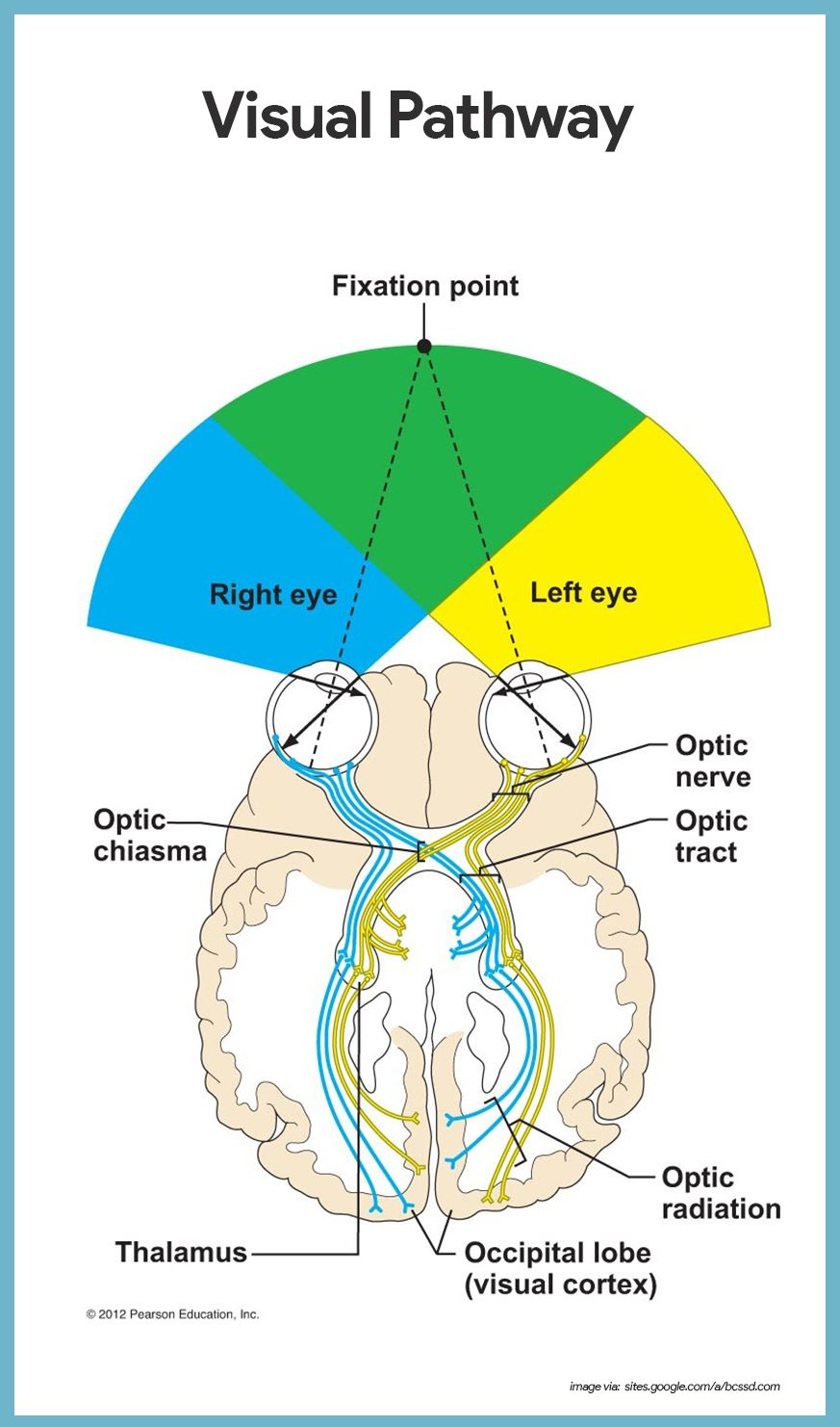 Special Senses Anatomy and Physiology | Anatomy, Nursing care and ...