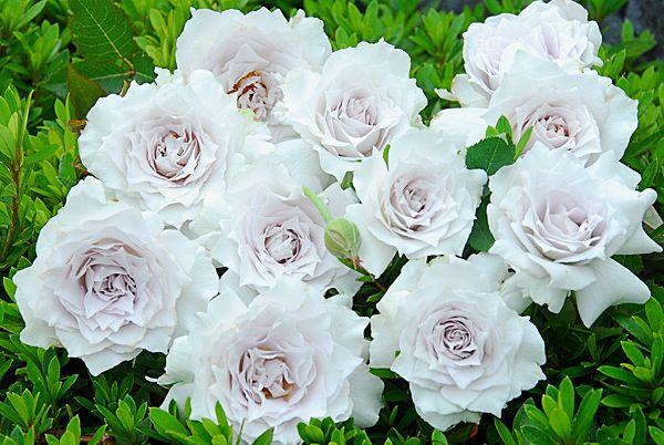 純白のバラ ガブリエル|熊本の大型総合園芸店 ナーセリーズ