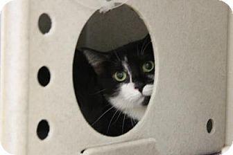 Philadelphia, PA - Domestic Shorthair. Meet Aquarius, a cat for adoption. http://www.adoptapet.com/pet/13113873-philadelphia-pennsylvania-cat