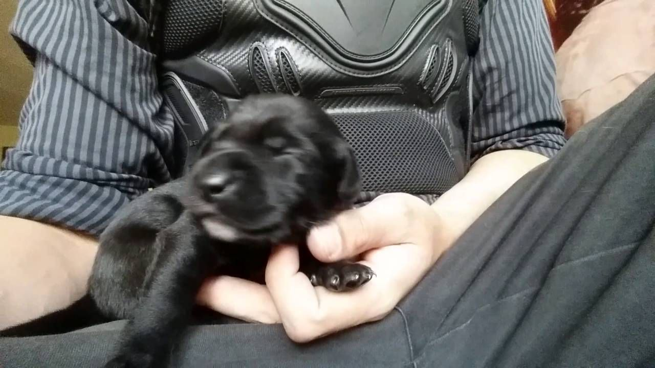 Ten day old puppy clicks his tongue while yawning. #Cute