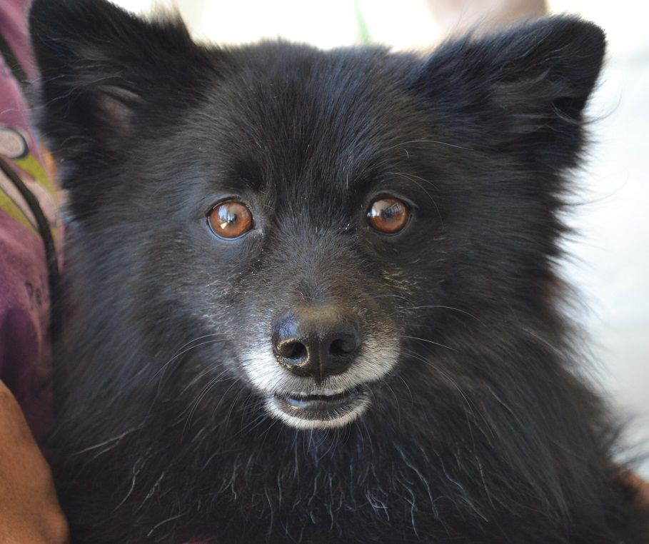 Pin By Adopt An Angel On Adopted Pomeranian Mix Pet Store