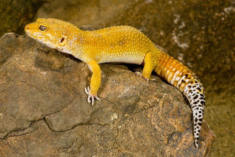 What Colors Do Leopard Geckos Come In? Leopard gecko