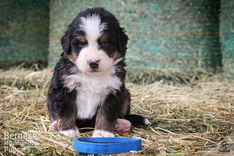 Blue Collar Male Bernese Mountain Dog Puppy Bernese Mountain