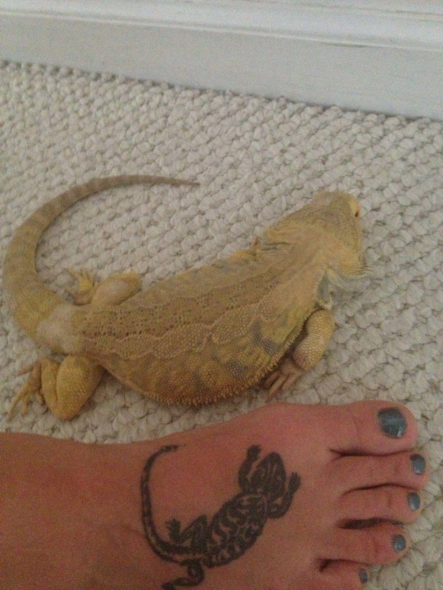 Puff! Bearded dragon lizard tattoo   tattoos   Pinterest
