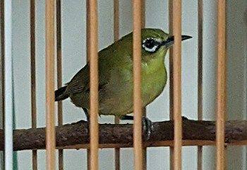 Cara Membedakan Ciri Ciri Pleci Jantan Dan Betina Avec Images Oiseaux Tortue