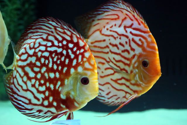 Red Pigeon Blood Discus Are A Beautiful Red Colored Variation Of The Discus Fish Red Pigeon Bloods Are Also Kno Discus Fish Freshwater Aquarium Fish Cool Fish