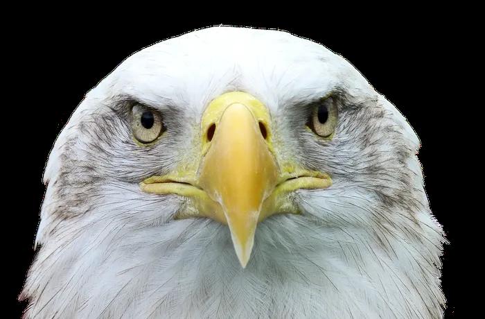 Adler Png Transparent Image 3 Free Pik Psd Bald Eagle American Bald Eagle White Tailed Eagle