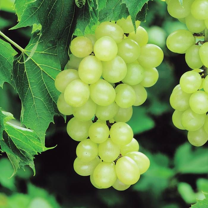 Grape Pinot Blanc White - Vitis vinifera \u0027Pinot Blanc\u0027 (Vitaceae