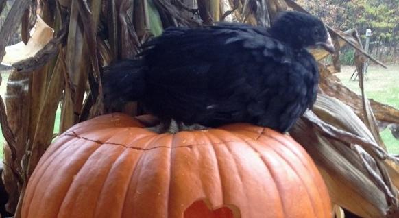 Can Chickens Eat Pumpkin Seeds & Guts Backyard poultry