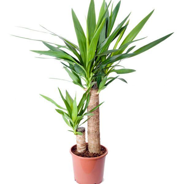 Juka Domowa Pielegnacja Rozmnazanie Choroby Yucca Plastic Nursery Pots Plants